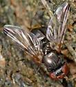 Euxesta notata - female