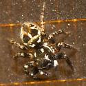 Twinflagged Jumping Spider - Anasaitis canosa