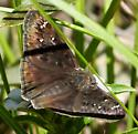 Juvenal's Duskywing ? - Erynnis horatius