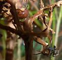 Steatoda's - Steatoda borealis - male - female