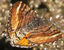 moth with orange hindwings: Dasyfidonia avuncularia? - Dasyfidonia avuncularia - male
