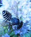 Subfamily Megachilinae Megachile rotundata - Alfalfa Leafcutter Bee - Megachile rotundata