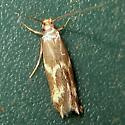 Yellow moth - Oinophila v-flavum