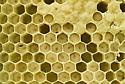 Beehive/Honeycomb removal  - Apis mellifera
