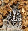 Small Jumper ID? - Naphrys pulex