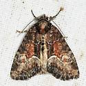 moth - Neoligia subjuncta