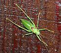 Truncated True Katydid, Paracyrtophyllus robustus - Paracyrtophyllus robustus - male