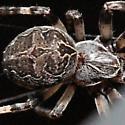 Looks Like Larinioides - Larinioides sclopetarius
