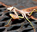 Mantis - Stagmomantis carolina - male