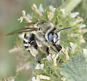 Cute Bee - maybe Anthophora urbana? - Anthophora urbana