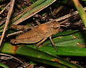 A nymph needing a name - ID if possible - Chortophaga viridifasciata