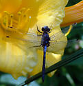 Dragonfly - Leucorrhinia proxima