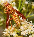 Polistes - Polistes apachus - female