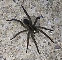 spider on the concrete - Tigrosa