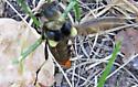 Lion Beetle - Ulochaetes leoninus