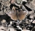 Can anyone ID this Duskywing? - Erynnis icelus