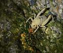 Coachella Giant Sand-treader Cricket - Macrobaenetes valgum - female
