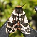 Neoarctia brucei - female