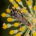 Tachysphex (terminatus group)? - Tachysphex - male