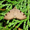 Three spots or three patches? - Heterophleps triguttaria