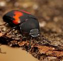 Coleoptera - Platydema ellipticum