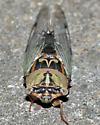 Resh Cicada (Tibicen resh) - Megatibicen resh