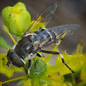 Syrphidae, Syrphid Fly, Eristalis sp  - Eristalis dimidiata - female