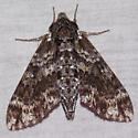 Pawpaw Sphinx - 7784 - Dolba hyloeus