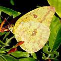 Large Orange Sulphur - Phoebis agarithe - female
