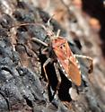 Gold-winged Bug - Leptoglossus occidentalis