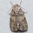 Exiled Dagger Moth  - Acronicta exilis