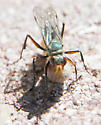 Wasp with spider - Ageniella salti