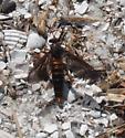 beach bug - Phyllomydas parvulus