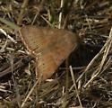 Moth on Sauvie Island - Caenurgina