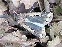 Owlet Moth? - Feltia subterranea
