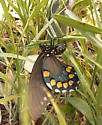 Pipevine Swallowtail - Battus philenor - female