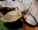 Tan Bug - Largus pallidus