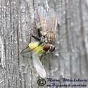 Tiger Fly - Coenosia