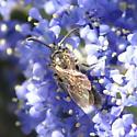 Panurgine bee? (2 of 3)
