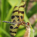 Uncertain Anisoptera -- Celithemis eponina? - Celithemis eponina