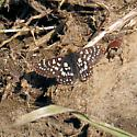 Possible Variable Checkerspot - Euphydryas chalcedona