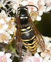Yellow Jacket - Vespula vidua - male