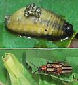 Three-lined Potato Beetle - Lema nigrovittata