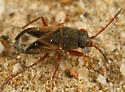 small bug - Malezonotus rufipes