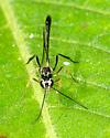 Ichneumon Wasp? - Anomalon - male
