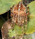 Cross Orbweaver - (missing cross) - Araneus diadematus - female