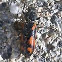 Cleridae - Psoa maculata