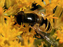 Black-footed Drone Fly - Eristalis hirta - male
