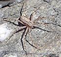 Thanatus vulgaris female? - Apollophanes texanus - female