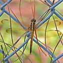 Needham's Skimmer - Libellula needhami - female